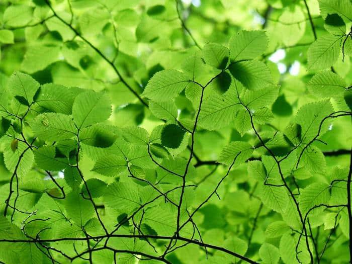 best shade trees