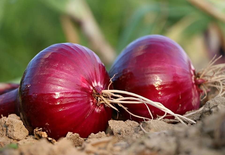 best fertilizer for onions