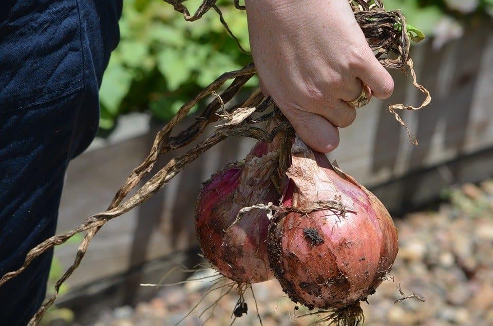 best soil for onions