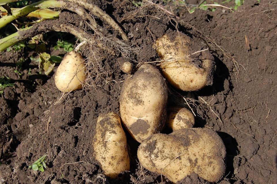 best soil for potatoes