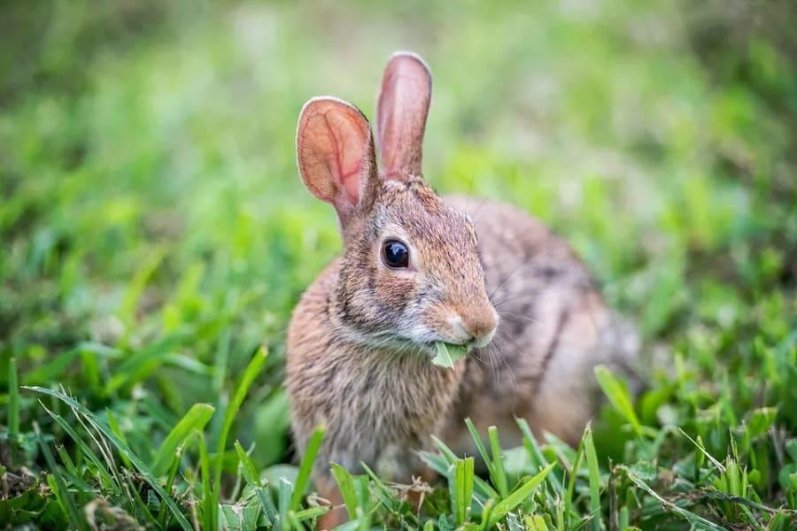 Rabbit Repellents Reviewed