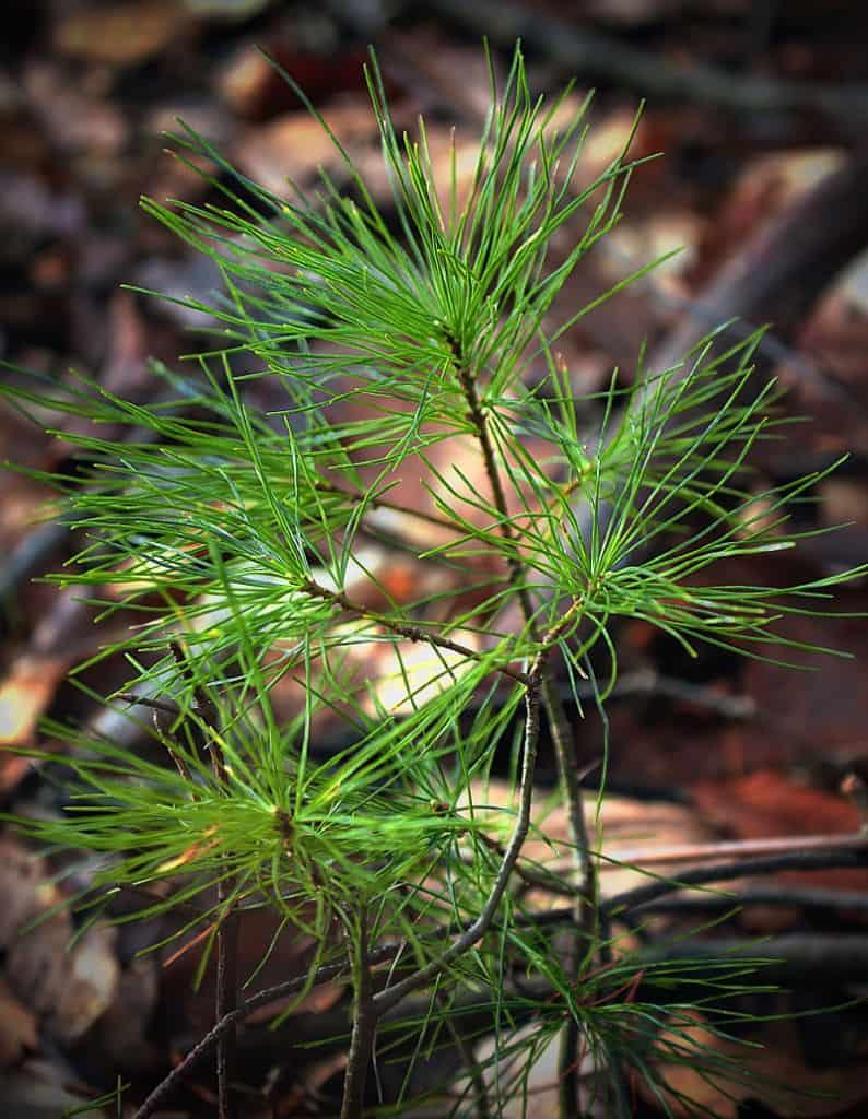 EWP seedling 794x1024 1