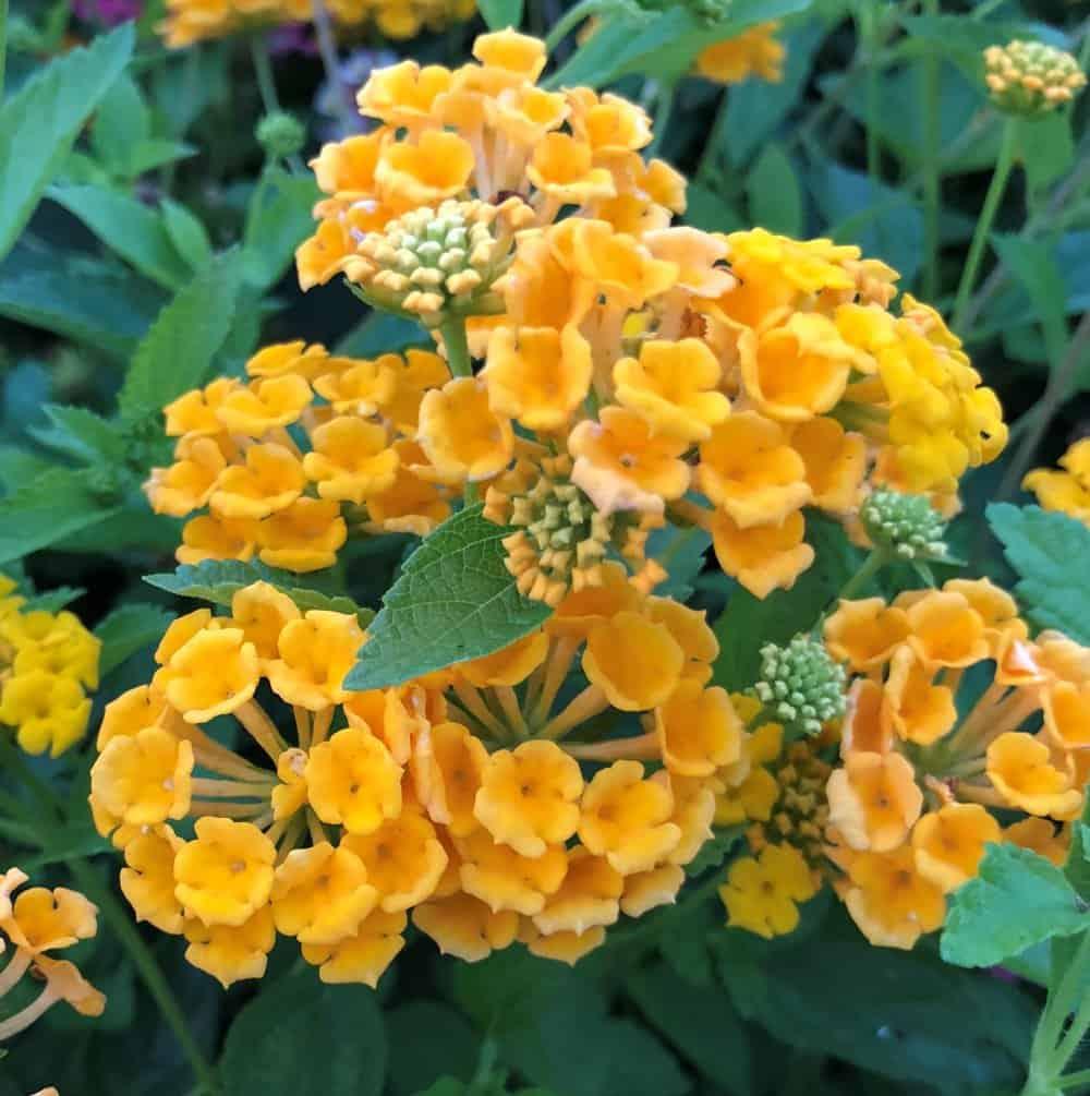 bandana landscape gold lantana plant 1441 detail