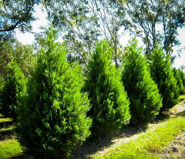 leyland cypress one