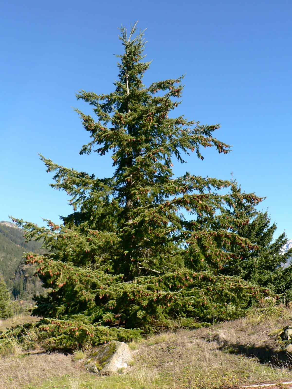 tree Washington North Cascades National Park