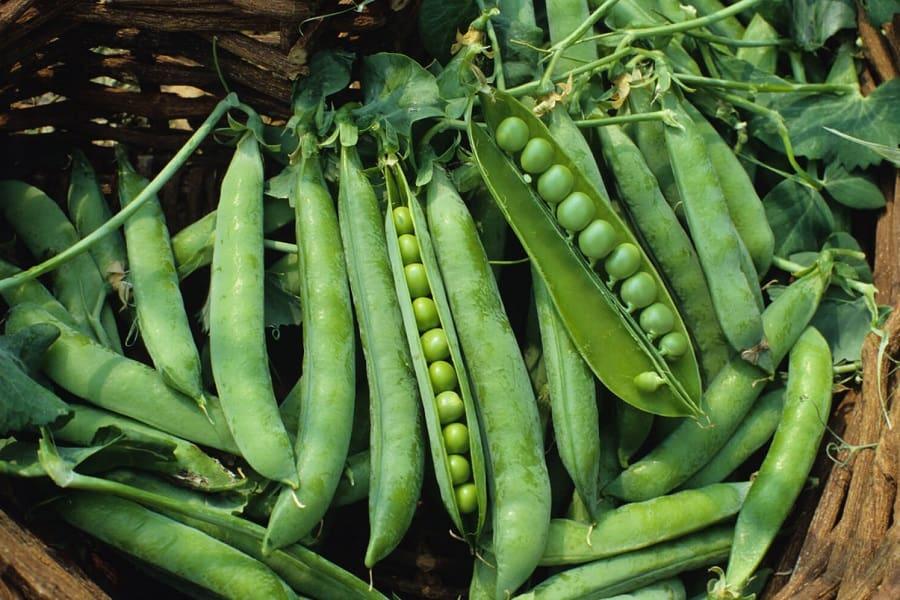 Peas harvest