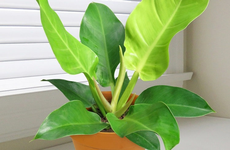 Philodendron Moonlight Review