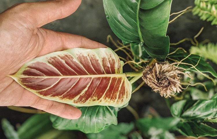 Philodendron Subhastatum Type