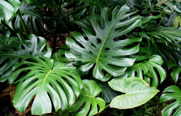 What Exactly Is A Philodendron