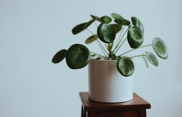 Pilea peperomioides indoor