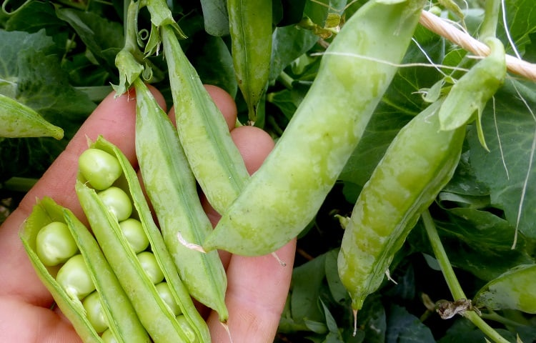 how much peas can one plant produce