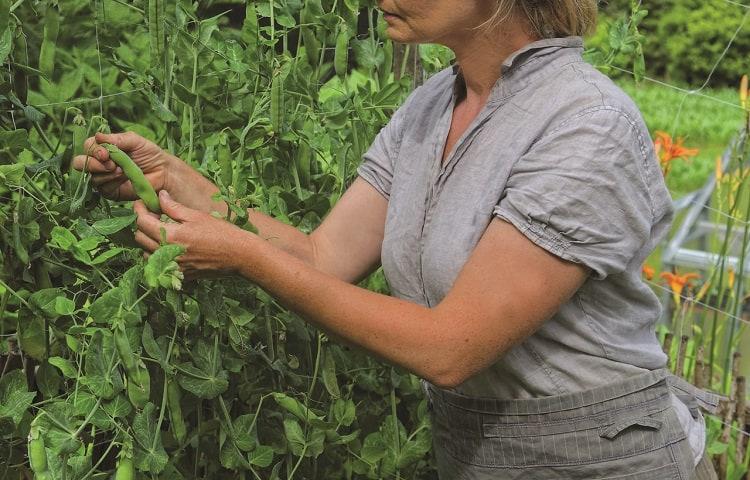 peas harvesting