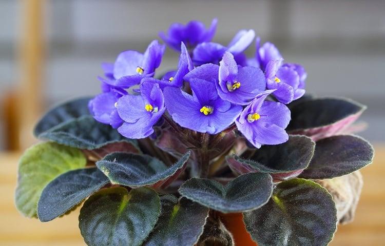 #22 African Violet