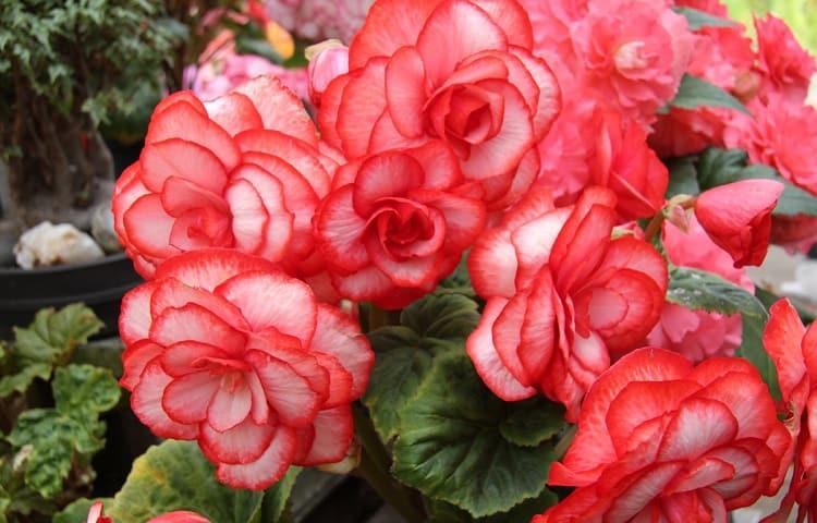 #3 Begonias