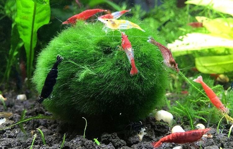 #18 Cladophora Moss Ball