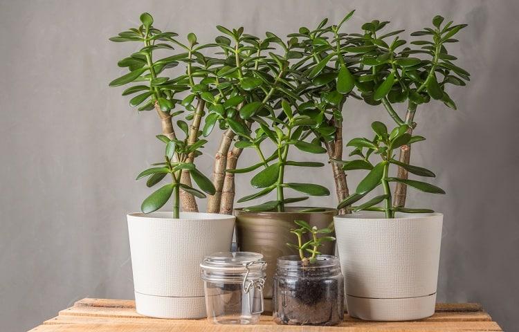 #23 Jade Plant