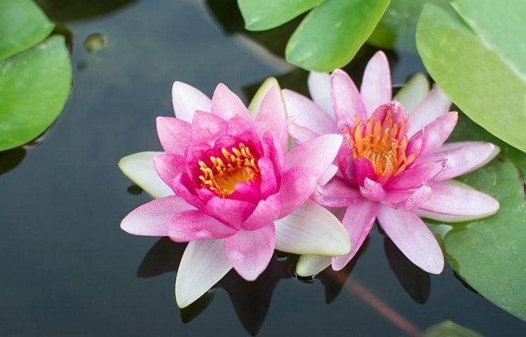 #20 Lotus