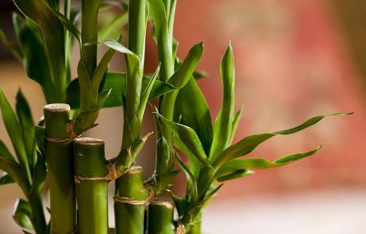 #6 Lucky Bamboo