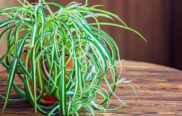 #2 Spider Plant